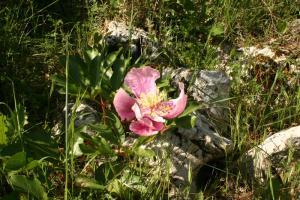 Flor silvestre rosa - Zafarrancho